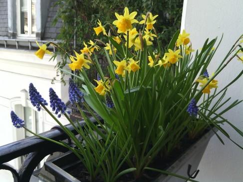 Window box daffodils, March 25th 2015