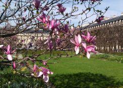Magnolias at the Palais Royal - April 2015