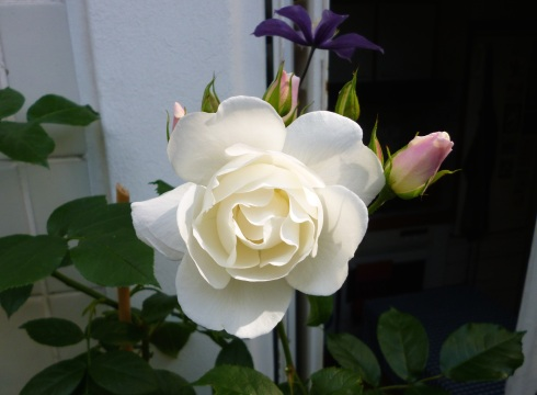 First rose on the balcony, May 2015