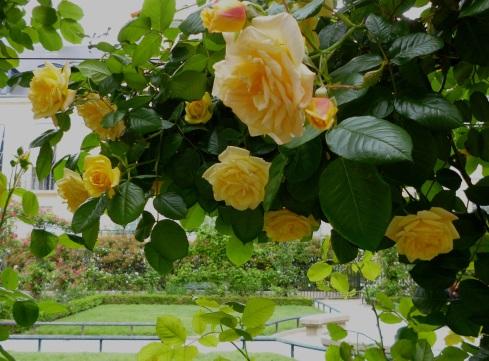 Yellow roses in Square Saint-Gilles Grand Veneur-Pauline Roland, Paris 4e - May 2015