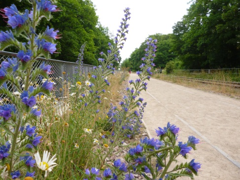 Echium and daisies on the Petite Ceinture