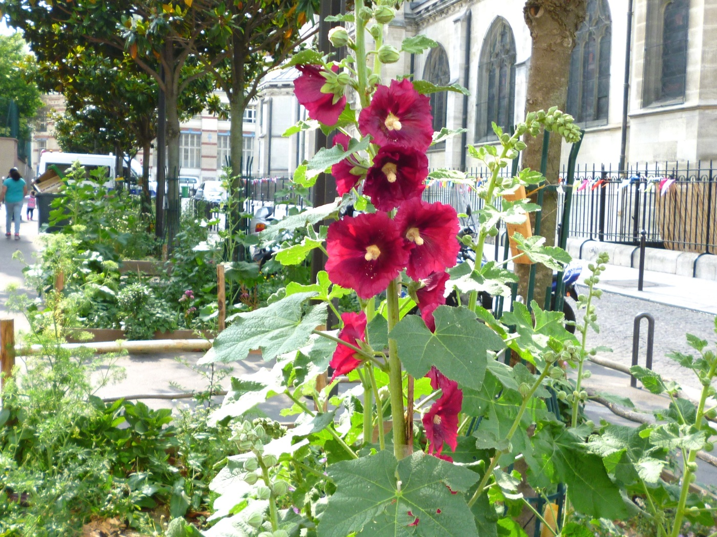 Hollyhock community garden