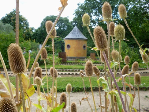 Teasels in the Jardin des Plantes - July 2015
