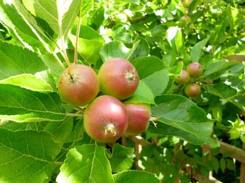 Walney apples
