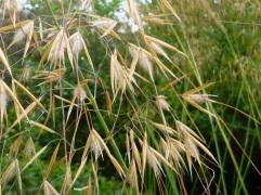 Walney giant oats