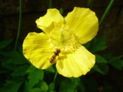 Hoverfly on Welsh Poppy