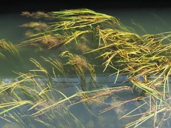 Seine waterweed 2
