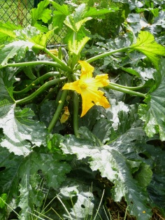 convent courgette