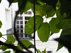and the view through new Akebia leaves