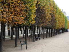 Clipped lime trees turning towards autumn in the garden of the Palais Royal, September 2015