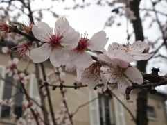 Almond blossom in Montmartre, February 2016