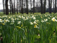 Narcissus in the Parc Floral
