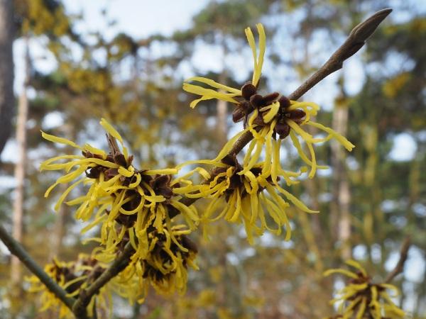 yellow witch hazel flowers