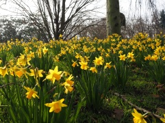 Daffodils in Parc Floral February 2016