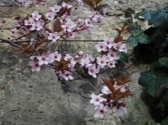 Cherry plum at Cimitière de Montparnasse, March 2016