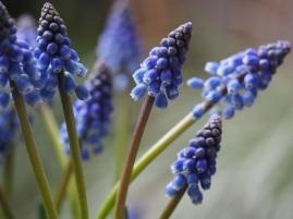 grape hyacinth Muscari flowers close up