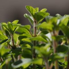 Window box herbs - March 2016