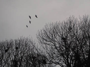 rookery rooks silhouette Yorkshire