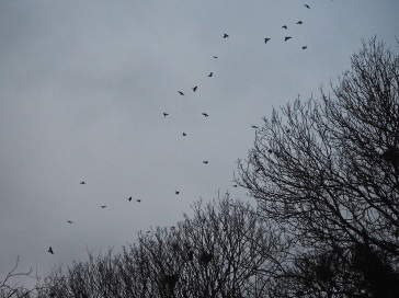 rooks in flight silhouette Yorkshire