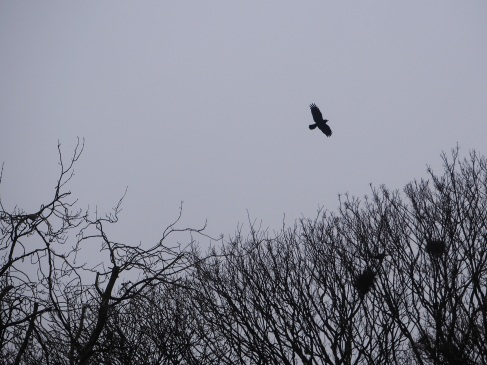 rook in flight trees nests silhouette