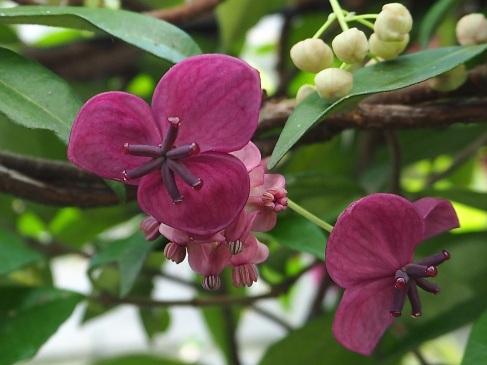 Akebia quinata female & male flowers