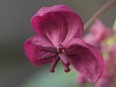 Akebia quinata female flower