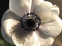 white anemone black stamens close up