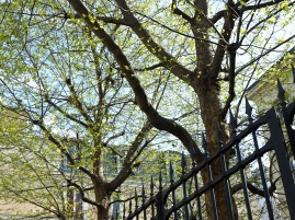 New leaves on plane trees