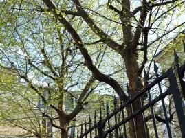New leaves on plane trees