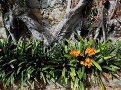 Clivia flowers La Mortola garden
