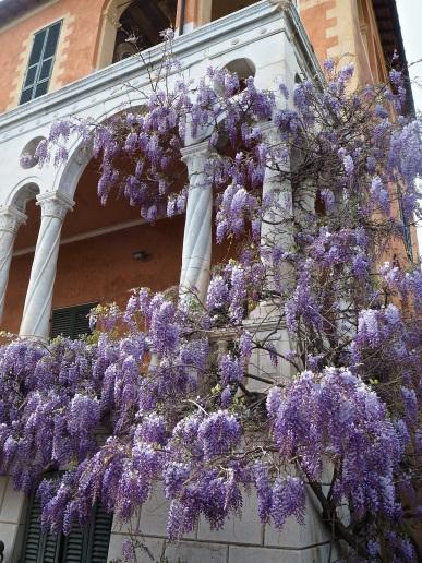 Hanbury garden La Mortola wisteria