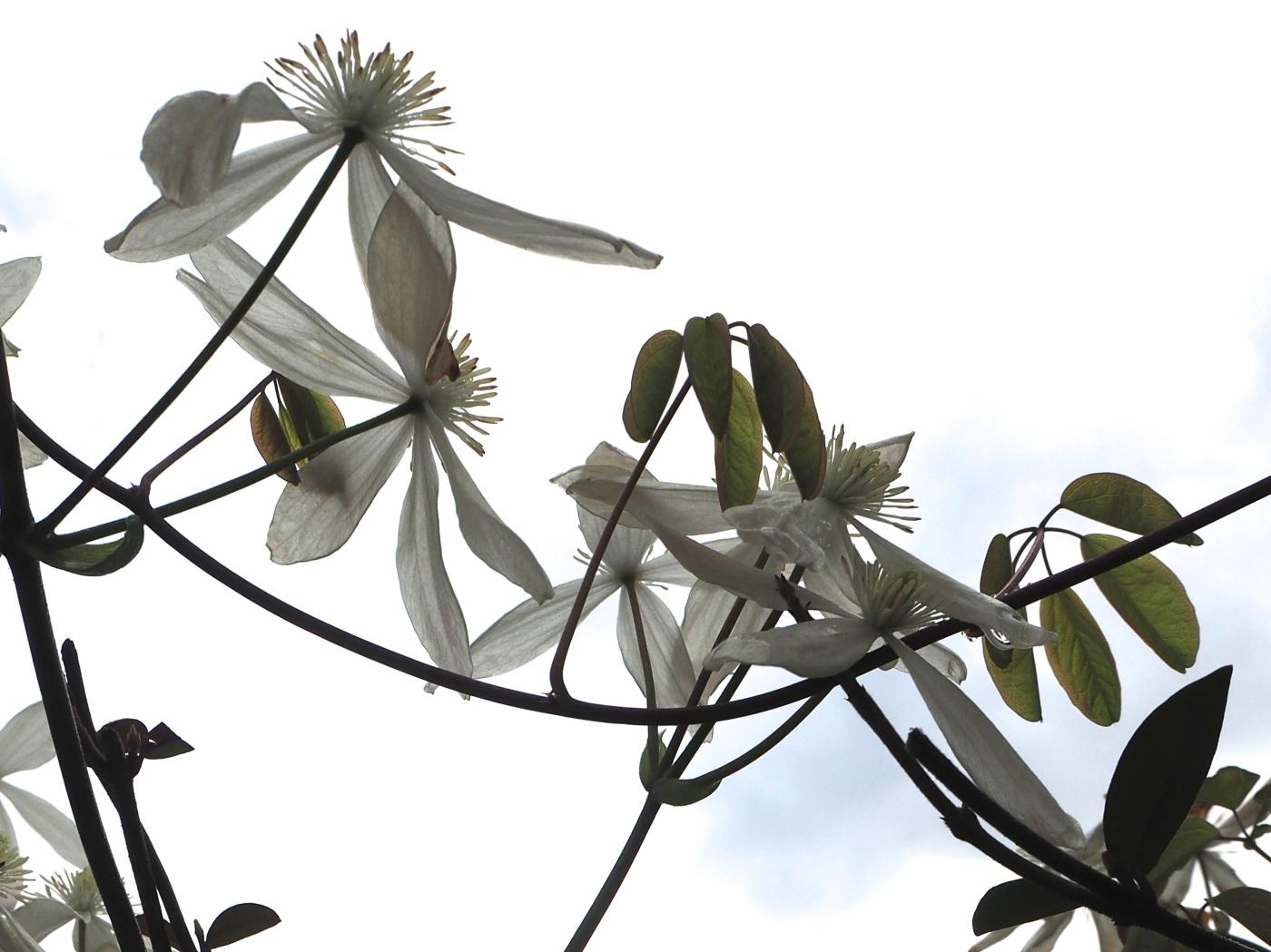 Clematis armandii flowers