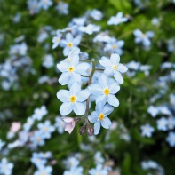 Forget-me-not blue