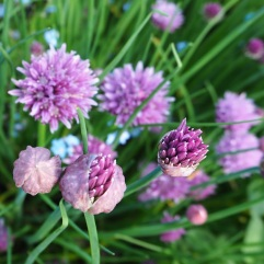 Chives and forget-me-nots