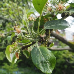 Apple fruitlets