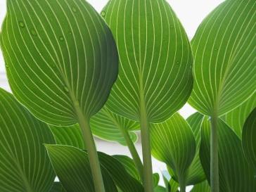 New hosta leaves