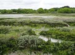 Salt marsh plants at low tide - the grey tussocks of sea lavender will be covered in a haze of purple flowers later in the year.