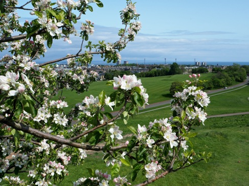 Wild apple tree and a view towards Leith, Edinburgh.