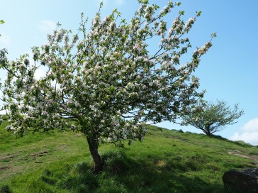 Wild apple trees above Salisbury Crags.