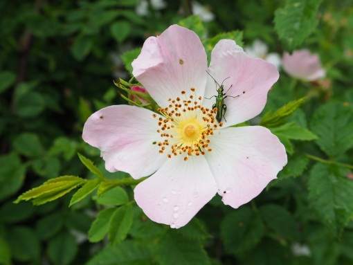 Wild rose and beetle