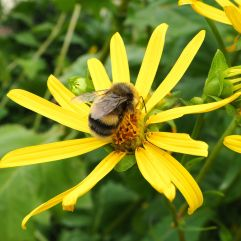 Garden bumblebee on perennial sunflower