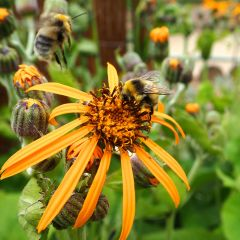 bumblebees on ligularia