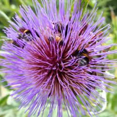 Assorted bees face down in a thistle