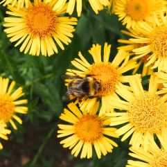 Unknown bumblebee on Inula