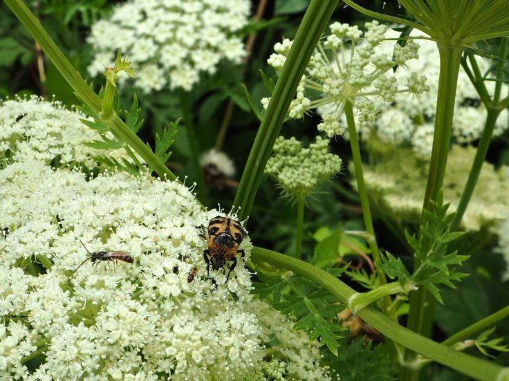 bee beetle on umbellifer