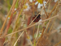 Harlequin shield bug (Graphosoma lineatum) in high summer. The bug is striped on top but spotted underneath.