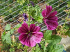 Wild mallow attracts bumblebees - just out of the picture!