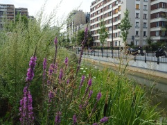 Purple loosestrife in Jardin Charles Trenet