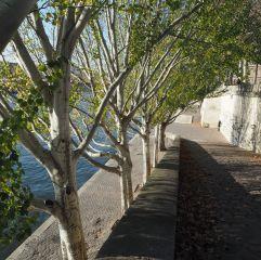 Poplars by the Seine