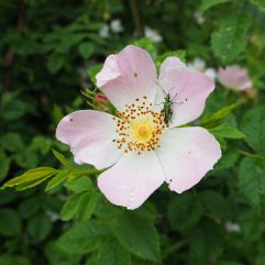 Rose and beetle in a city edge nature reserve